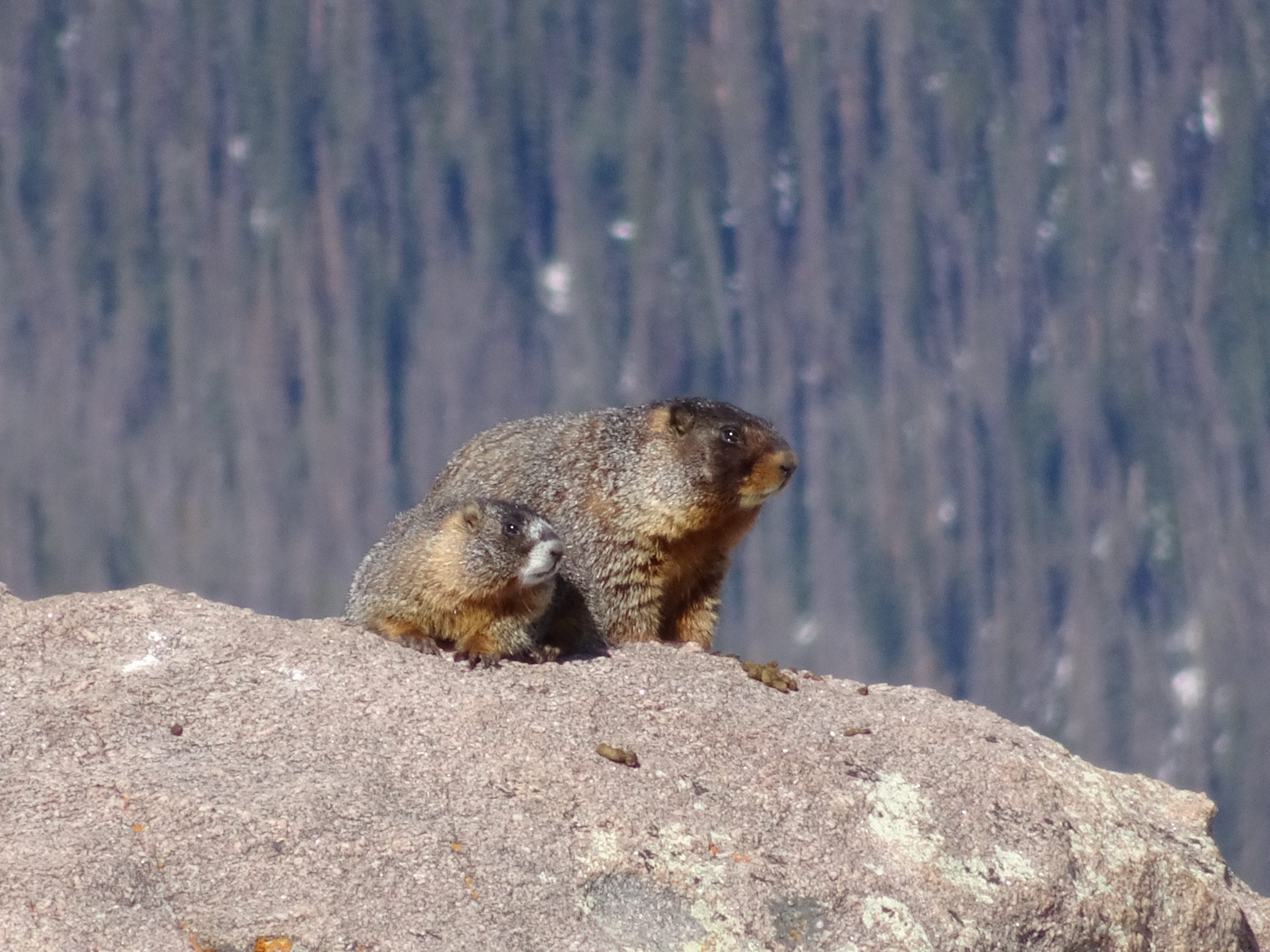 Forest Canyon Marmot