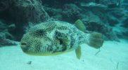 Porcupine (Puffer) Fish