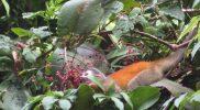 Orange Squirrel Monkey