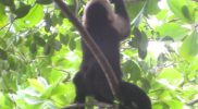 Monkey Stolen Juice Pack