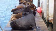 Astoria Sea Lions