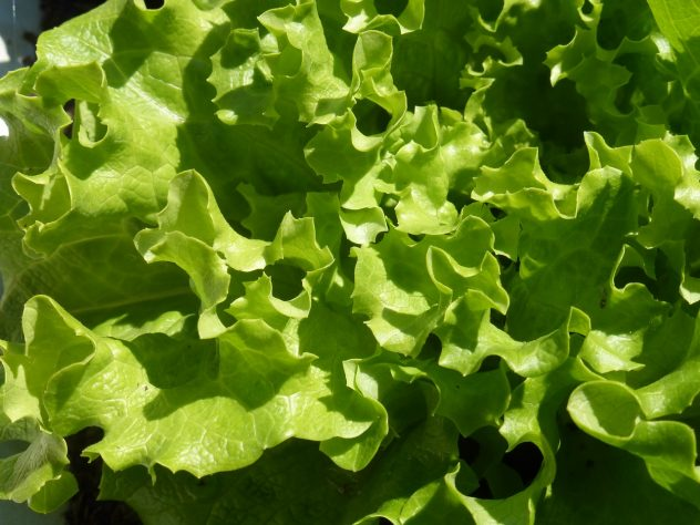<strong>Romaine</strong> <hr> Obviously best in salad.