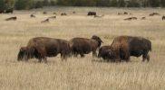 Bison At Sage Creek