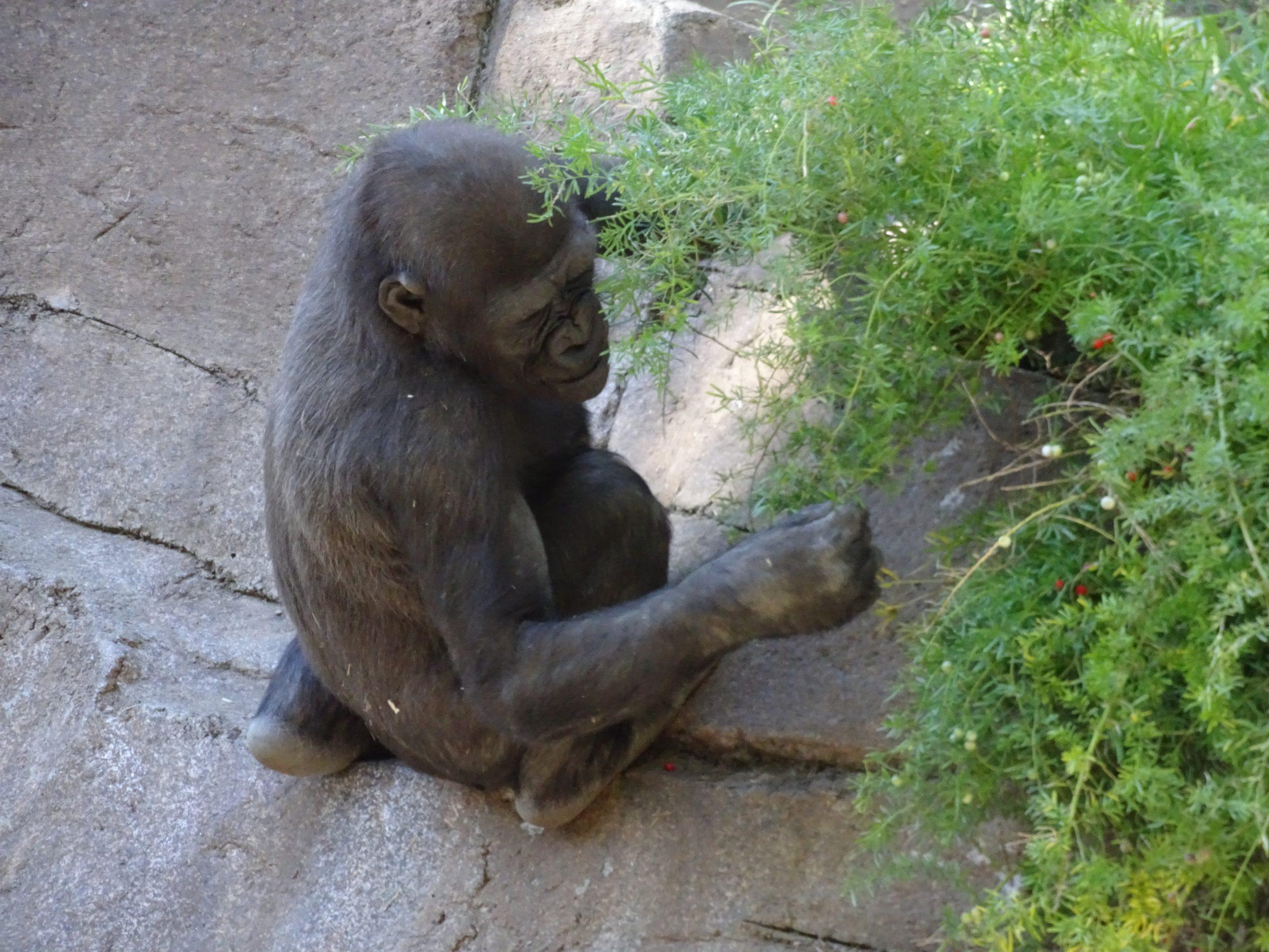 Safari Park Baby Gorilla