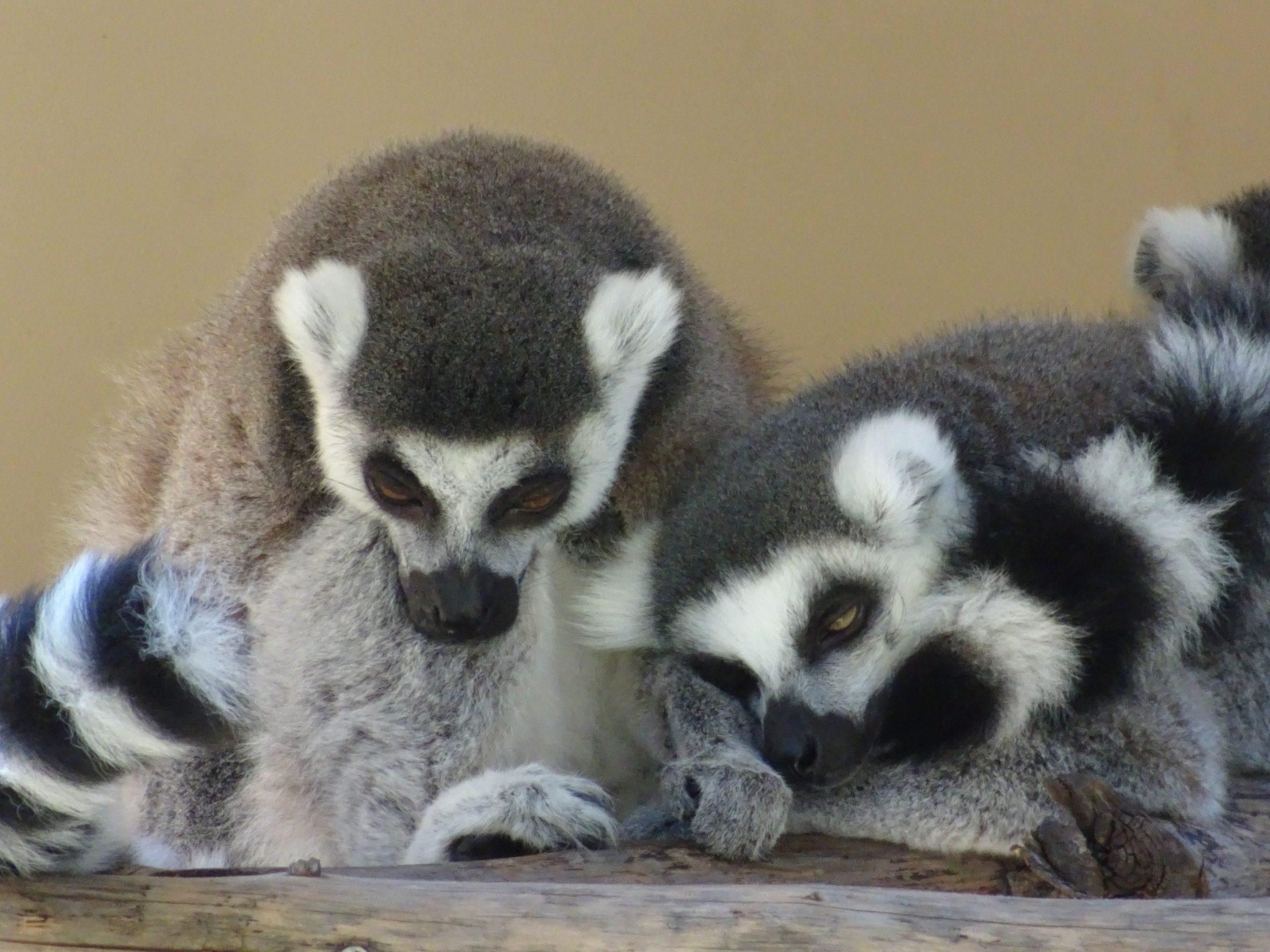 Safari Park Lemur