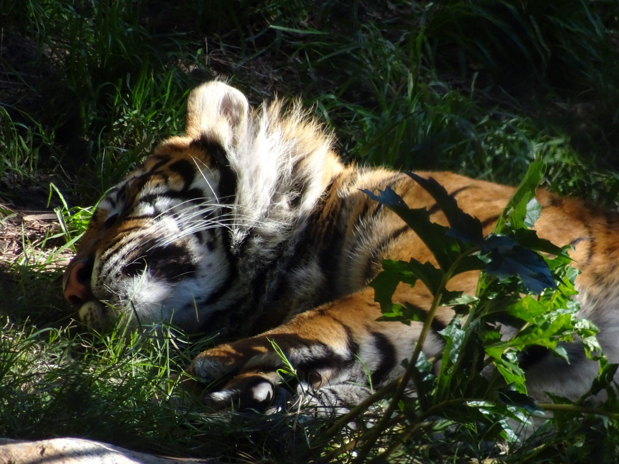 Safari Park Tiger