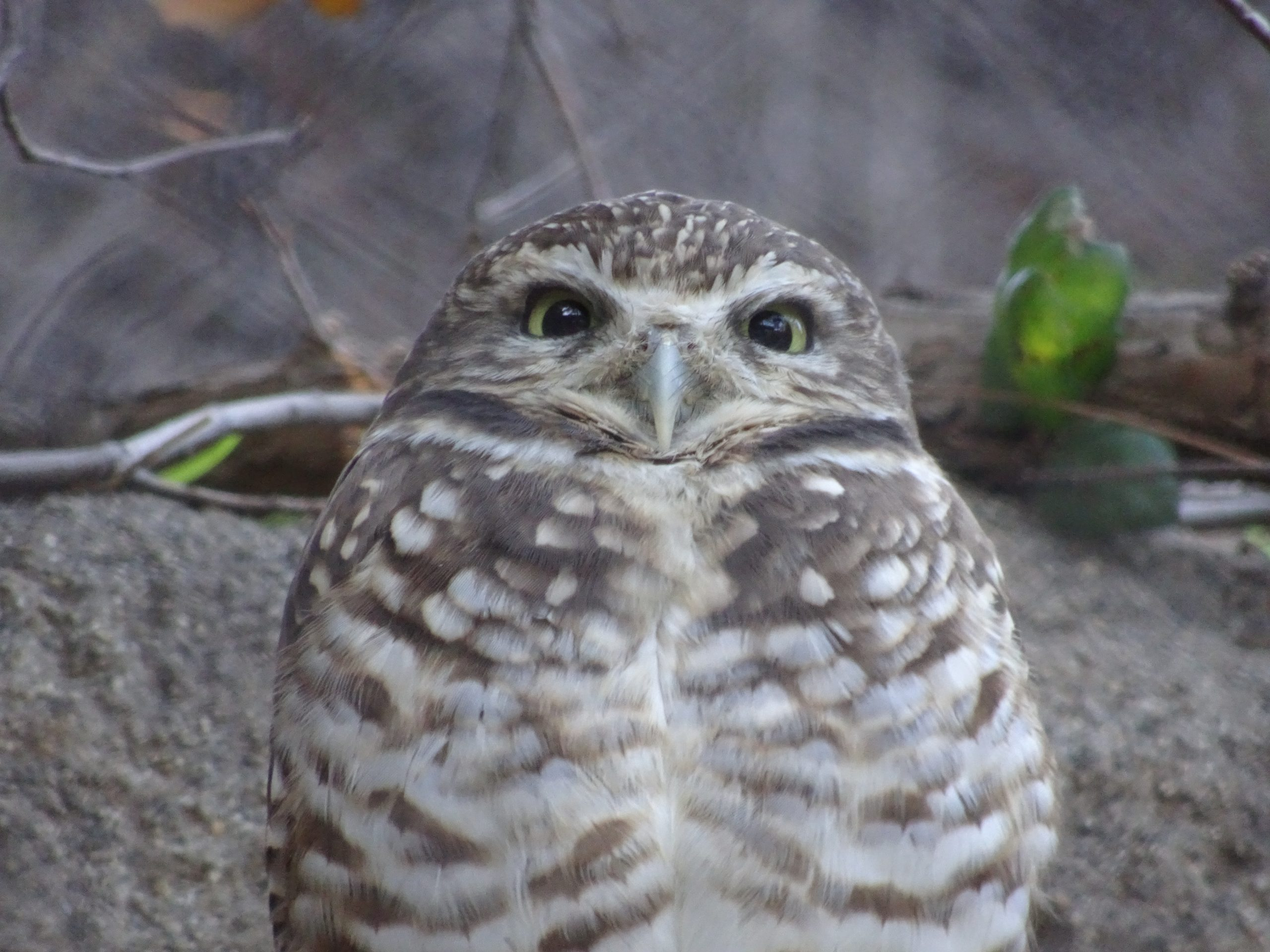 Safari Park Owl