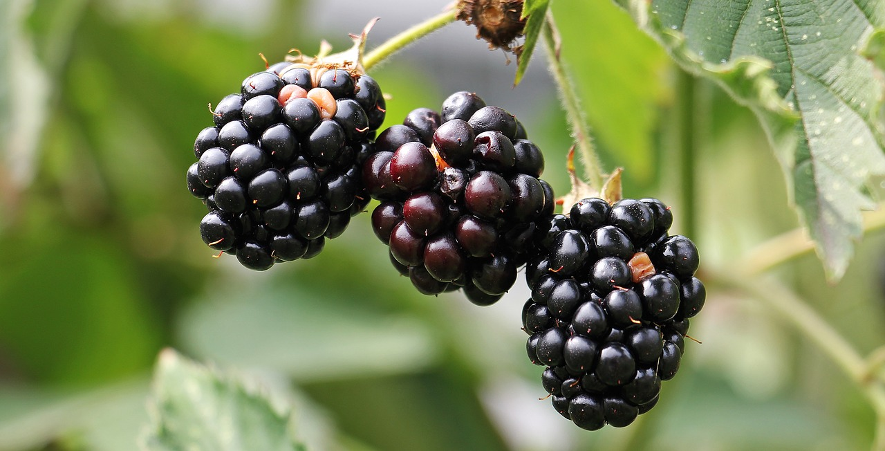 <strong>Blackberries</strong> <hr> Tangy, sweet flavor. Fresh, frozen, or as jam.
