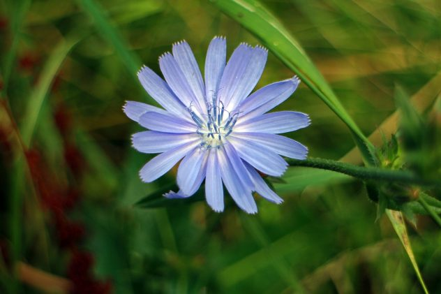 <strong>Chicory</strong> <hr> Can be used with or a substitute for coffee.