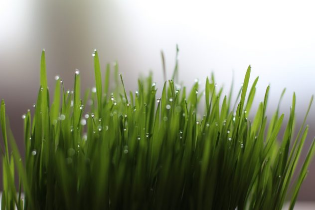 <strong>Wheatgrass</strong> <hr> Supposedly a magical food, the best way to take seems to be in a smoothie to mask the taste.